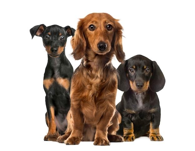 白に孤立して座っている3匹の犬