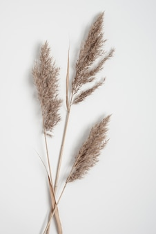 Three dry pampas grass branches flat lay on a white background