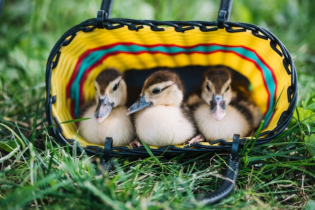 Three duckling sitting inside the colorful basket on green grass