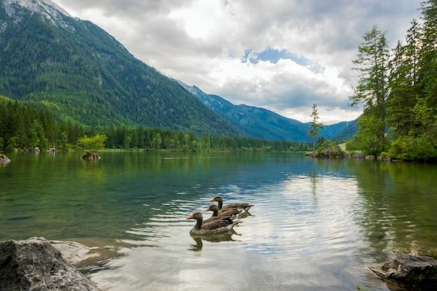 山の間の湖の穏やかな水に3羽のアヒル