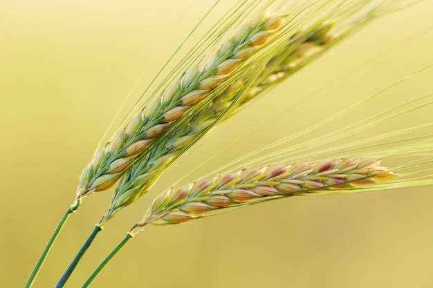 Three ears of wheat close up on plain blurred yellow. selected ears of wheat.