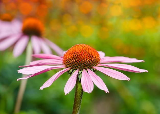 自然な色の背景に3つのエキナセアの花