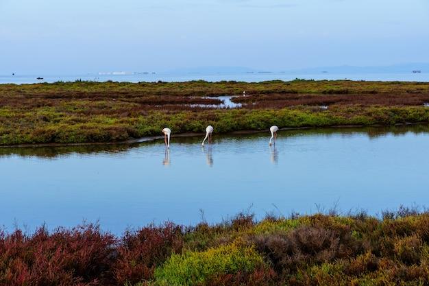 3つのフラミンゴが、三角州の水から出てくる岩層の間の海水の中を歩きます。エブロデルタ