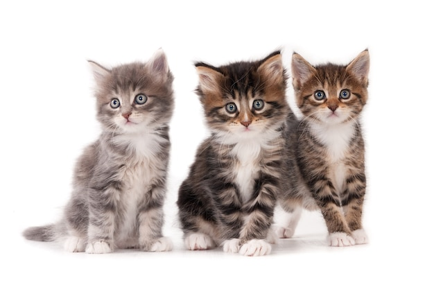 Три пушистых котенка на белом