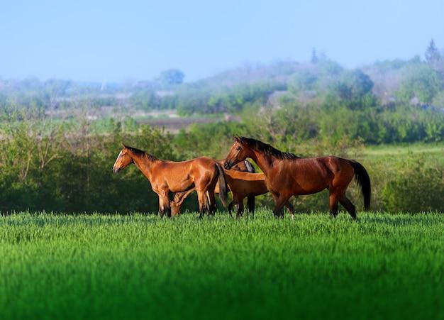 美しい景色の高くジューシーな緑の芝生のフィールドを歩いている3頭の無料の馬。牧草地の馬の群れ