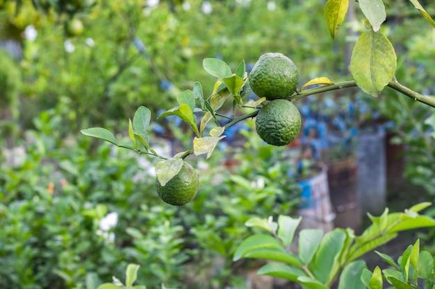농업 농장 내부 가지에서 자라는 3개의 신선한 유기농 만다린 과일