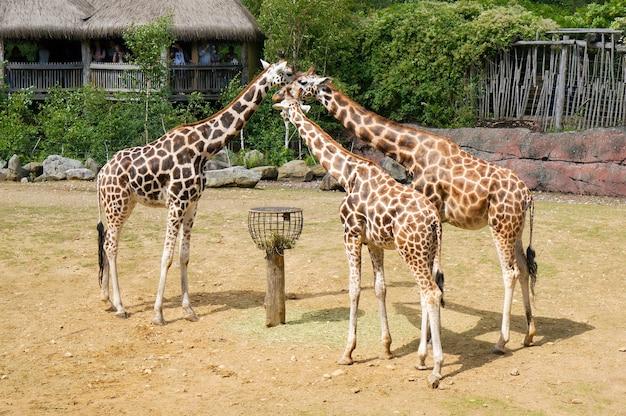 낮 동안 동물원에 세 마리의 기린