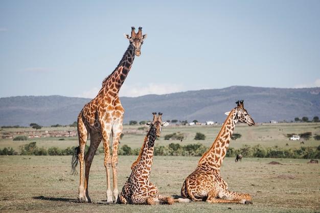 Three giraffes staring intently in masai mara, africa