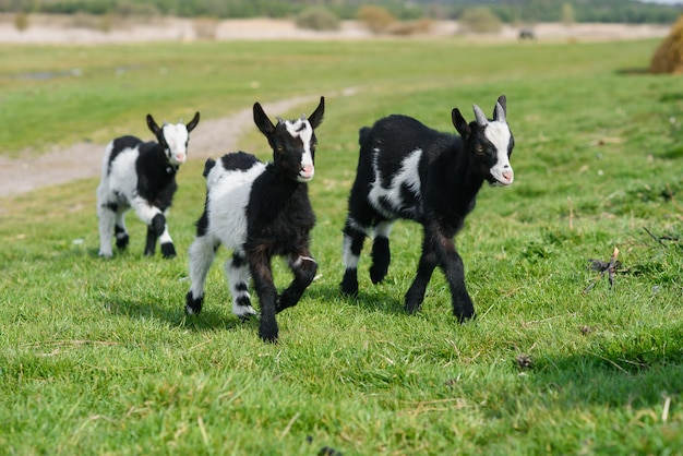 Three goat kids grazing on meadow