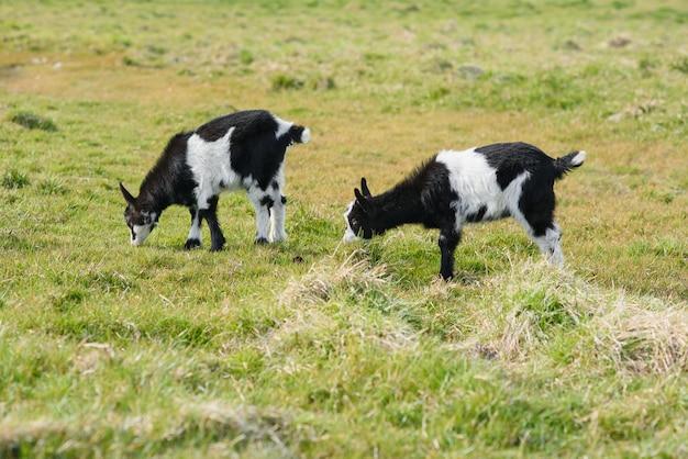 Three goat kids grazing on meadow