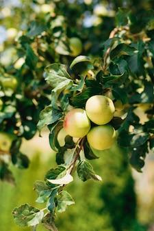 Три зеленых спелых яблока на ветке дерева крупным планом