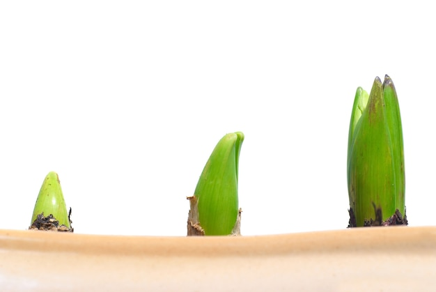 隔離された鍋の3つの成長している植物