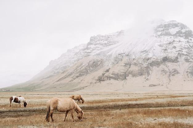 アイスランドの雪をかぶった山々を背景に、3頭の馬が野原で草をつまむ