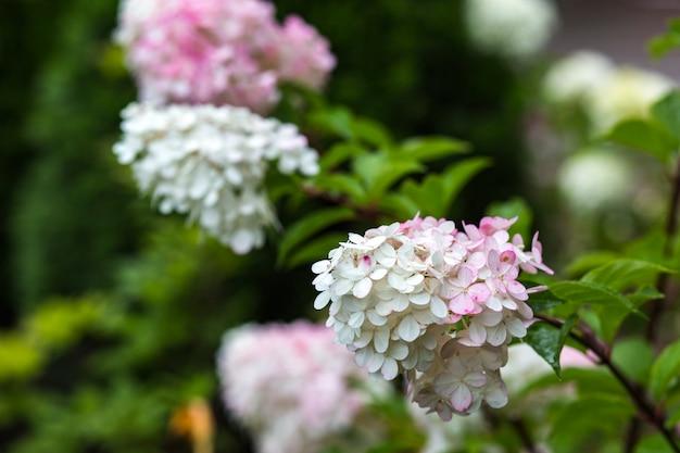 Three hydrangea flowers in summer in the garden