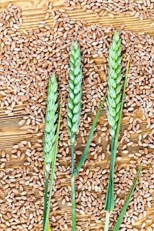 세 개의 미성숙 밀 귀, 나무 보드에 누워 작년의 밀 씨앗을 성숙, 근접 사진