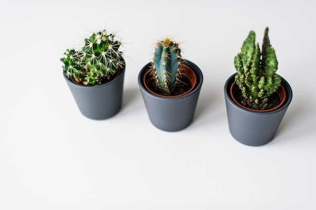 Three kinds of green cacti on a gray background. domestic plant succulent