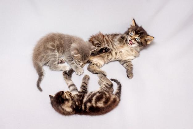 白い背景の上の3匹の子猫。子猫は遊んで楽しんでいます_