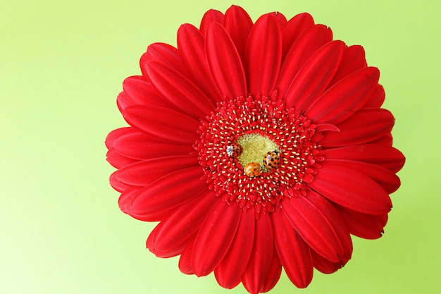 Three ladybugs on a bright red gerbera closeup on a light green background