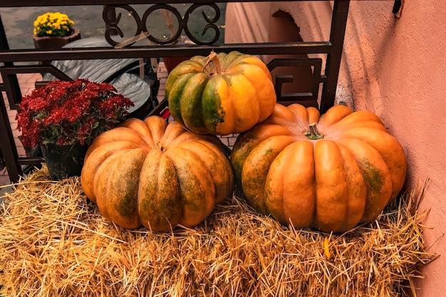Три большие тыквы и горшок с хризантемами на сене на день всех святых хэллоуин
