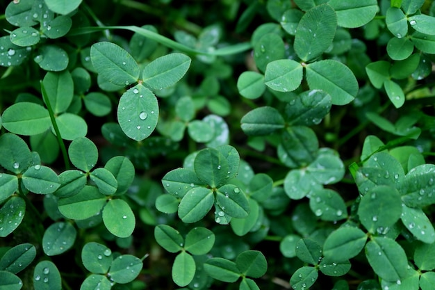 Three-leaf clovers with water droplet on shamrock field after the rain