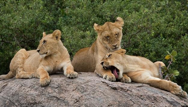 Три львицы лежат вместе. кения. танзания. африка. серенгети. масаи мара.