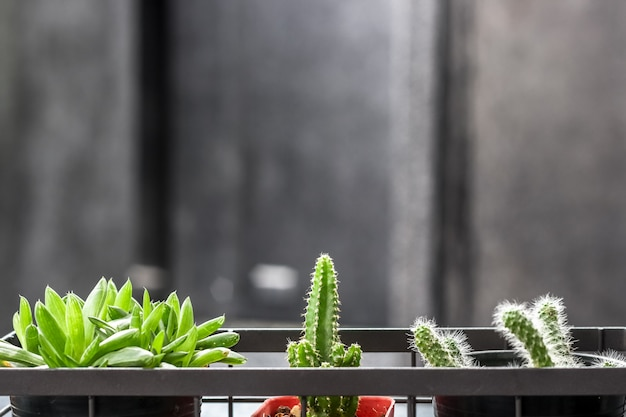 Three little cactus in the case with black wall