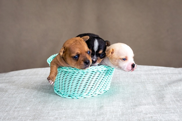 Three little chihuahua puppies sitting in a wicker basket.