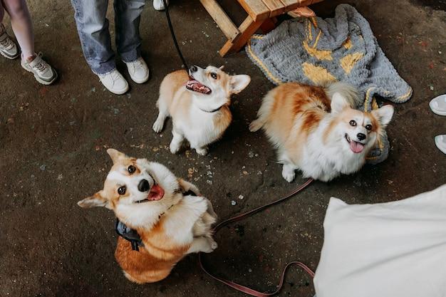 세 마리의 작은 개들이 야외에 앉아 있습니다. 가죽 끈에 세 개의 귀여운 코기. 도시 공원에서 개 쇼입니다. 맑은 날. 카메라를 바라보며 미소 짓는 코기
