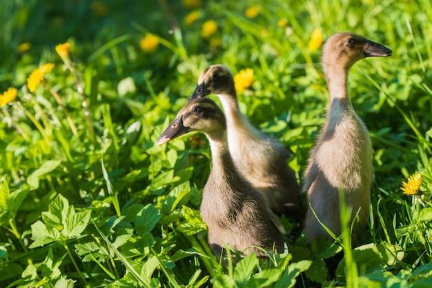 Три маленьких домашних серых утенка, сидящие в зеленой траве