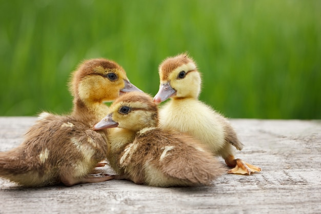 Three little duckling, pets, green grass in the background