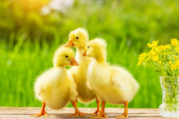 Three little fluffy yellow gosling on nature background