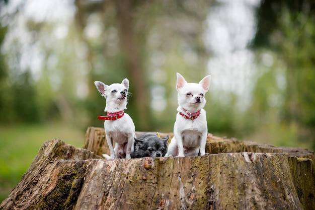 Three little funny chihuahua puppies sitting on tree in summer forest