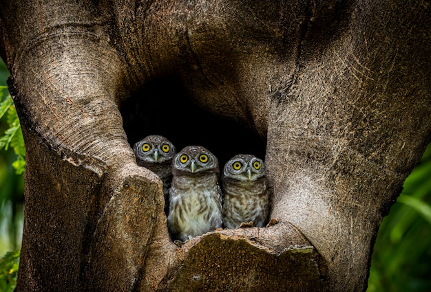 Three little owls inside the hole of a tree in a forest