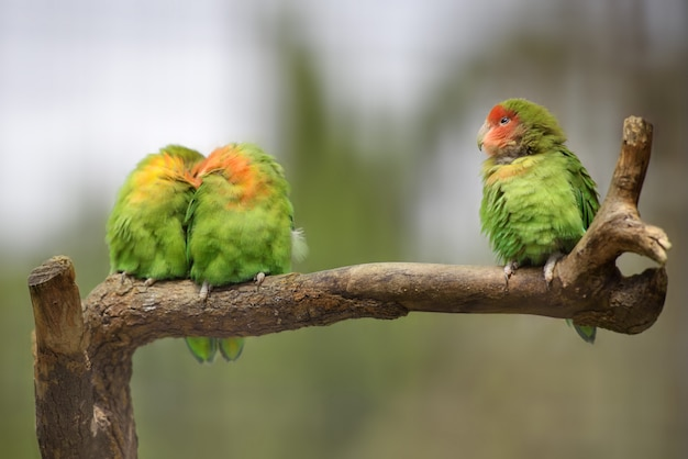 Three lovebirds on a branch