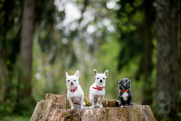 Three lovely and cute chihuahua puppies sitting at old tree in forest