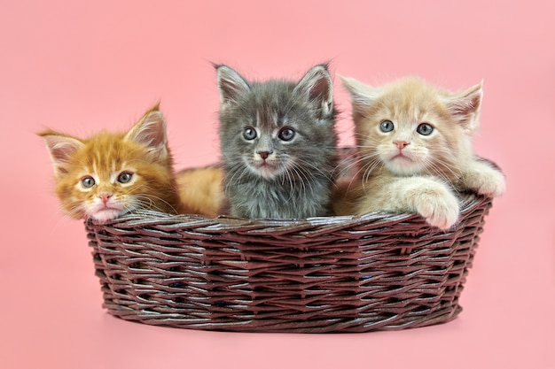 Three maine coon kittens in basket