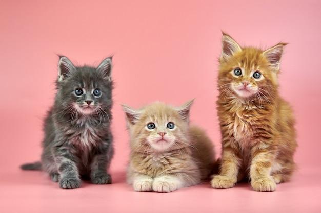 メインクーンの3匹の子猫-クリーム色、赤、灰色の毛色。ピンクの背景にかわいいショートヘアの純血種の猫。新しいごみからの生姜、ベージュ、白髪の魅力的な子猫。
