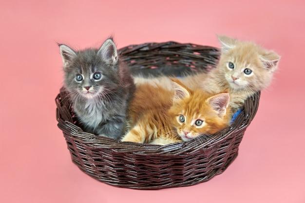 バスケット、クリーム、赤、灰色のコートの色の3匹のメインクーンの子猫。ピンクの背景にかわいいショートヘアの純血種の猫。新しいごみからの生姜、ベージュ、白髪の魅力的な子猫。