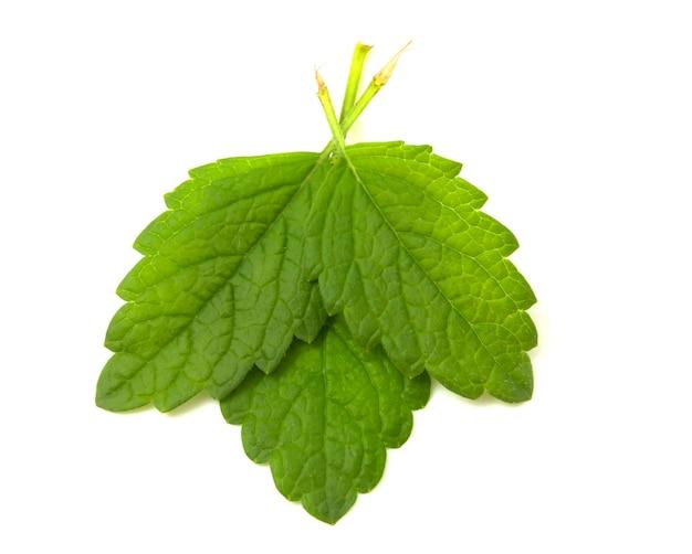 3 민트 잎 흰색 배경에 고립입니다. 음료 및 식사에 추가할 수 있는 향기로운 식물.