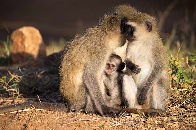 Three monkeys with one baby sit together