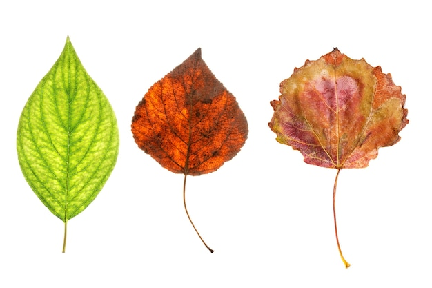 Three natural maple leaves isolated on white background