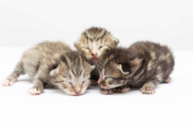 白い背景の上の3匹の生まれたばかりの灰色の子猫