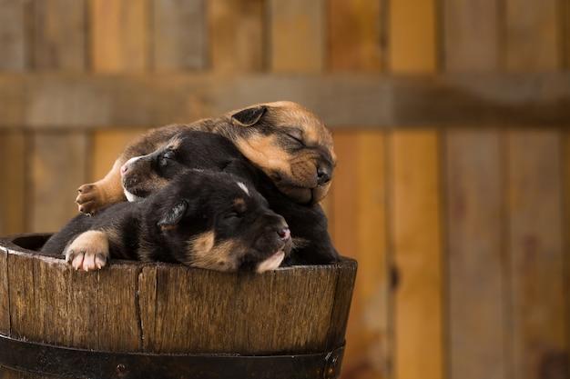 Three newborn puppies in a basket