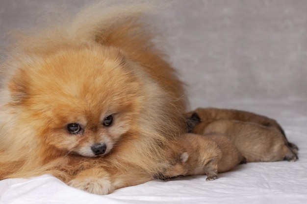 푹신한 오렌지 포메라니안 옆에 누워있는 세 마리의 갓 태어난 강아지