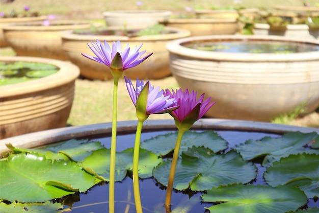 流域に咲く紫青蓮の花の3つ