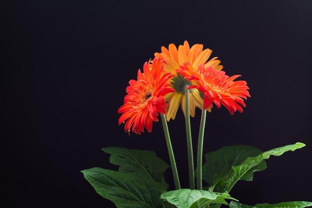 Three orange gerberas on black background. copy space