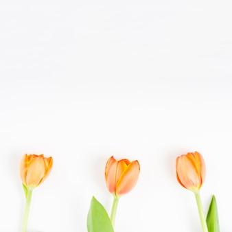 Three orange tulips on white background