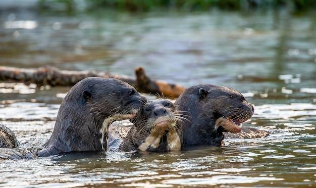강에 세 마리의 수달