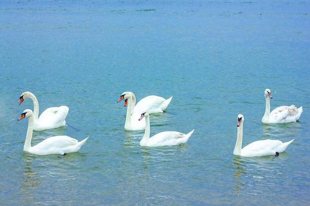 3組の白い白鳥が湖で泳ぐ
