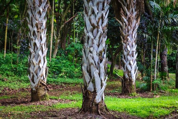 Три пальмовых ствола в ботаническом саду на острове оаху, гавайи